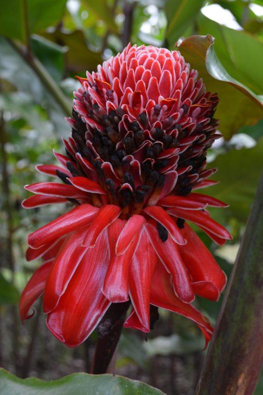 CostaRicaArenalLeavesLizardsflowers1