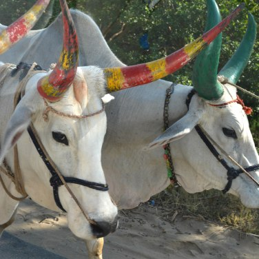 RanakpurRoad2017IndiaCowspaintedhornssmall