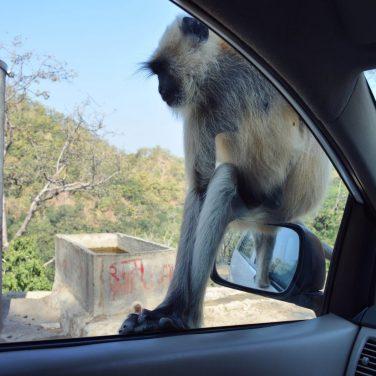 IndiaUdaipurMonkeysOct2017-1